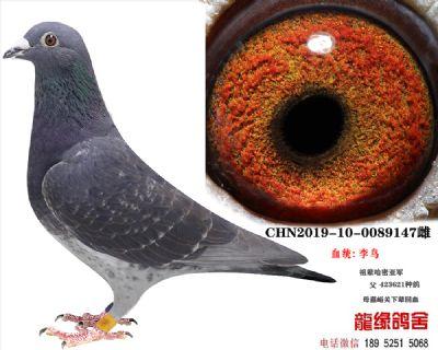 李鸟种鸽15