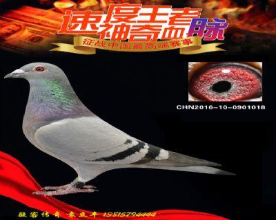 速度王三代回血鸽(做出惠翔鸽王59名)