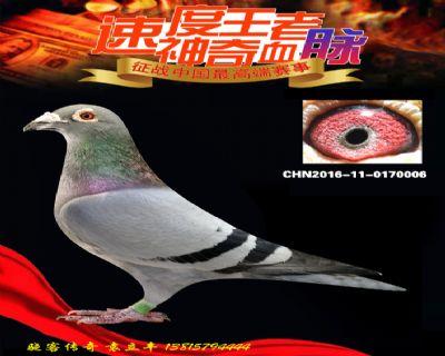 速度王三代回血鸽(做出威力决赛50名)