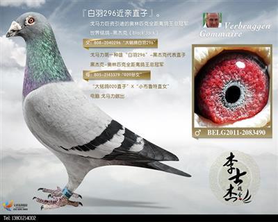 """戈马力""""白羽296""""直子"""