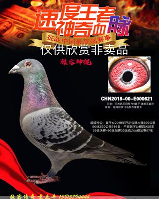 速度王4代超级种鸽