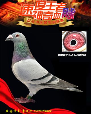 基础种鸽速度王孙代