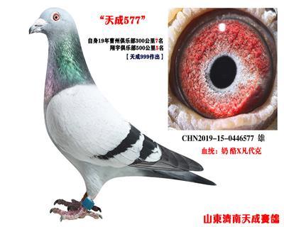 【 奶酪】-津福鸽王9位直孙