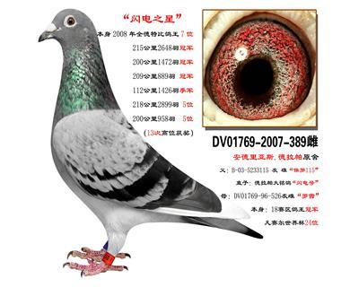 鸽王389