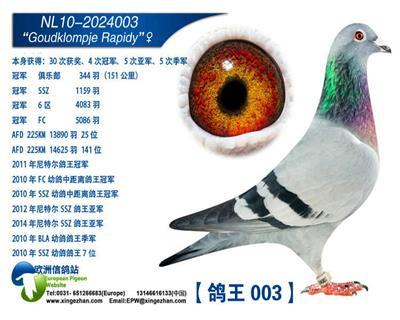 鸽王003