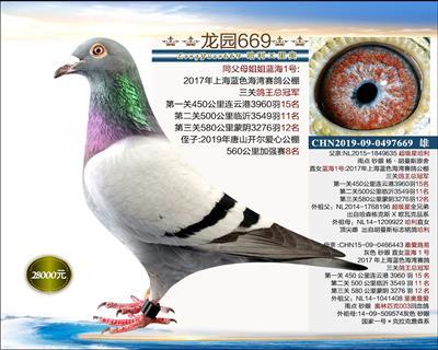 实战型种鸽 1