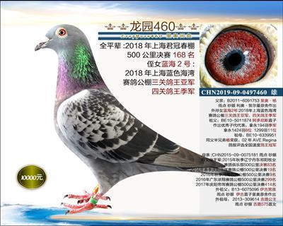 实战型种鸽 3