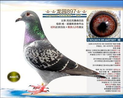 实战型种鸽 5