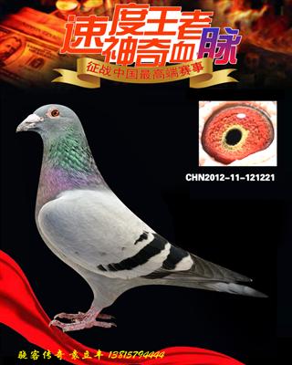 超级种鸽速度王子代(非卖品)