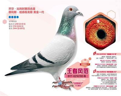 【王者风范】:【全国鸽王】直孙女