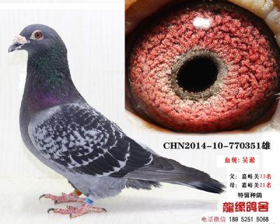吴淞种鸽25