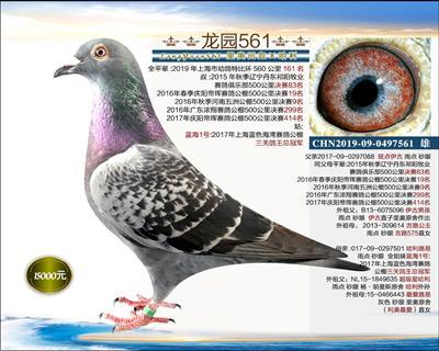 实战型种鸽 2
