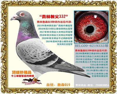 詹森铭鸽019(贵林教父332)