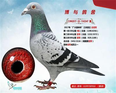 鸽王347