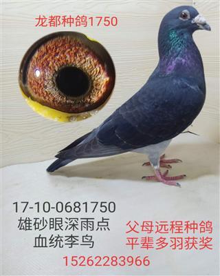 龙都种鸽1750