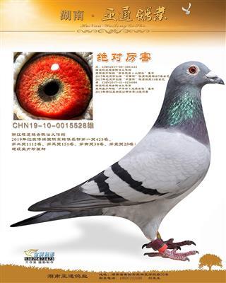江苏博辉国际赛鸽俱乐部第五关28名