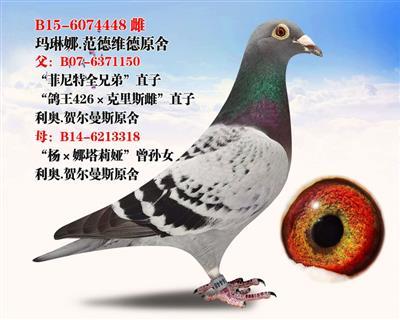 """""""鸽王426×克里斯雌""""直孙女"""