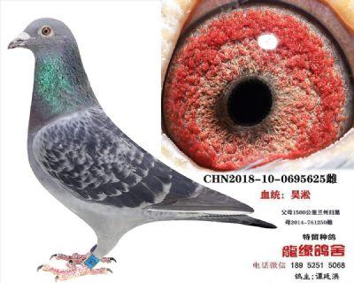 吴淞种鸽1