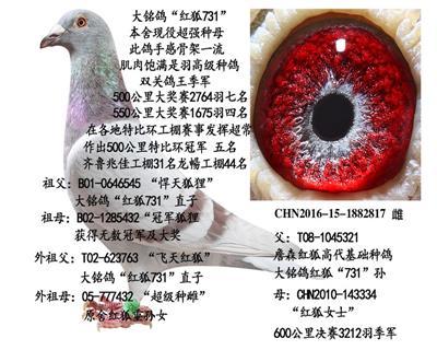 """大铭鸽""""红狐731"""""""