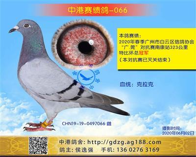 中港赛绩鸽-066