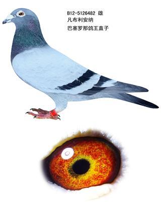 鸽王直子482
