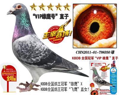 """KBDB全国鸽王总冠军""""VIP雄鹰""""直子"""
