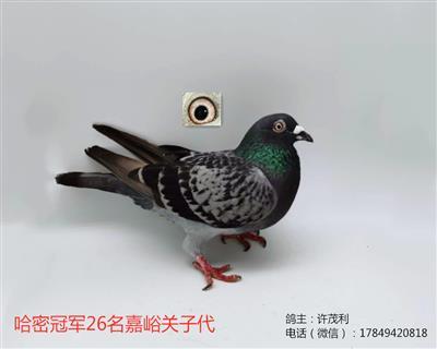 国血超远程吴淞哈密冠军对嘉峪关子代种鸽