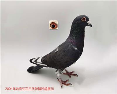 2004年哈密亚军三代种鸽展示