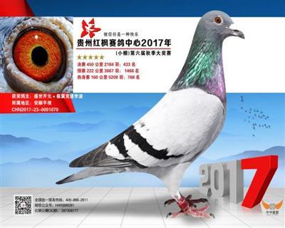贵州红枫赛鸽小棚433名