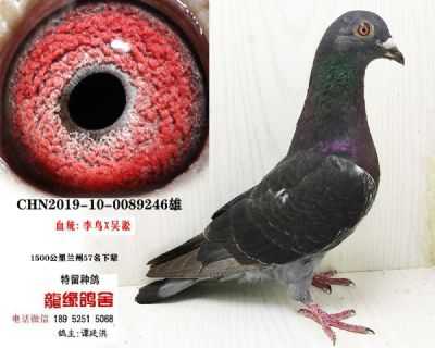 吴淞种鸽05