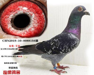 吴淞种鸽08