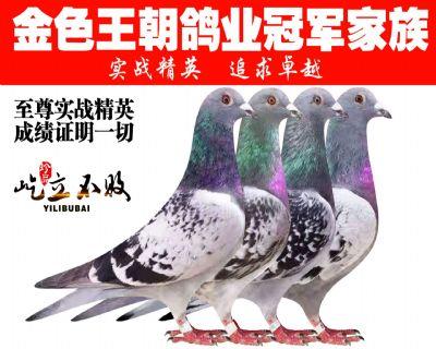 金色王朝鸽业团体冠军家族