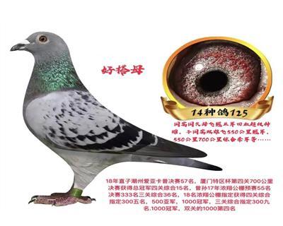 基础雌125开尔大棚鸽王季军奶奶