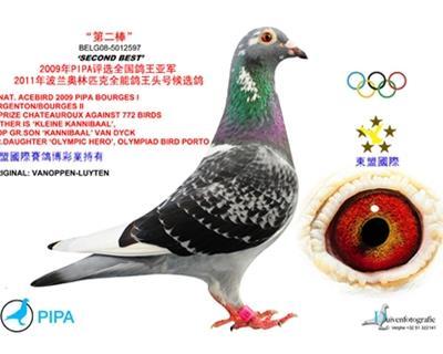 """""""第二棒""""/2011奥林匹克全能代表鸽"""