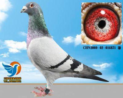 赛鸽拍摄作品 体型模版展示