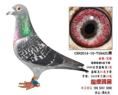 吴淞种鸽3
