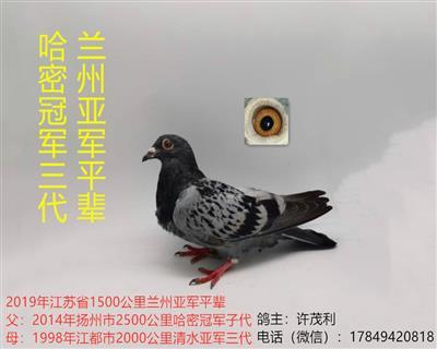 超远程吴淞鸽哈密冠军三代兰州亚军平辈