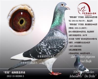 黄金多利出售幼鸽(非卖品)