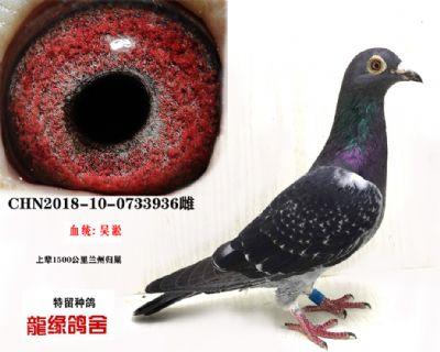 吴淞种鸽03