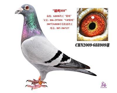 VIP雄鹰909