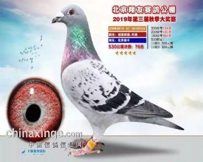 北京翔友公棚三关鸽王11位