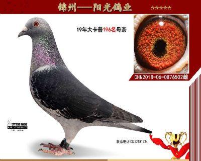 凯撒大帝卡普成绩鸽,又作出成绩鸽。