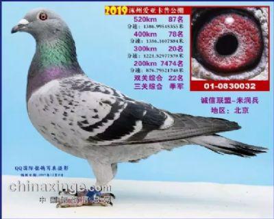 涿州爱亚卡普三关鸽王季军