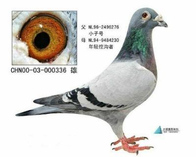霍夫肯系列基础种鸽