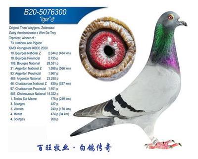 伊戈尔(KBDB大中距离鸽王73位)