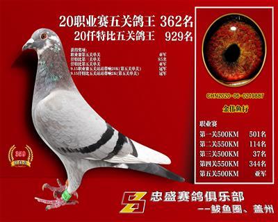 辽宁盖州忠盛俱乐部五关综合鸽王362名