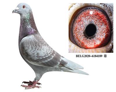 比利时-【斯密茨】-原舍种鸽189