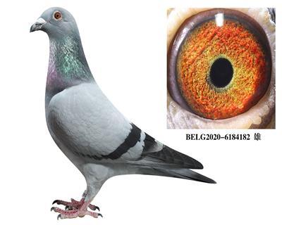 比利时-【斯密茨】-原舍种鸽182