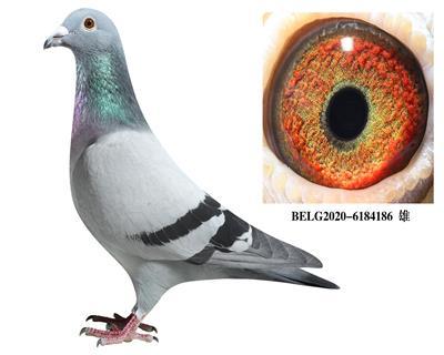 比利时-【斯密茨】-原舍种鸽186