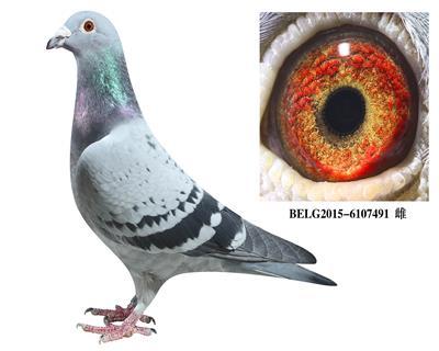 比利时-【斯密茨】-原舍种鸽491